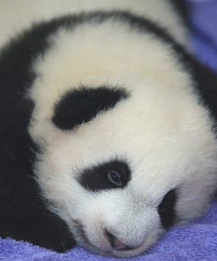pandaopener