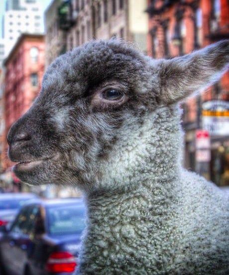 lamb open