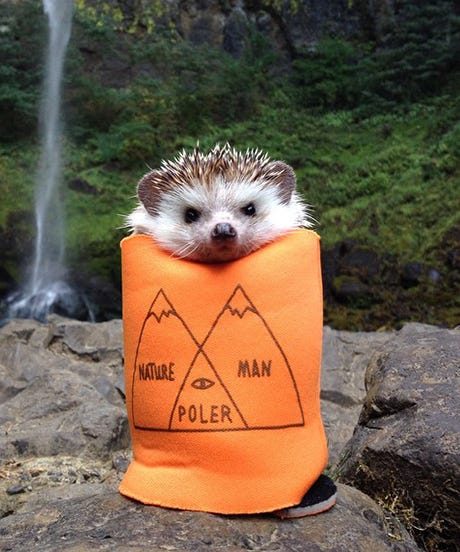 Biddy The Hedgehog Is Here To Brighten Your Day