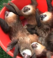sloth-opener