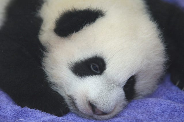 World Cup Winner Will Be Predicted By Pandas