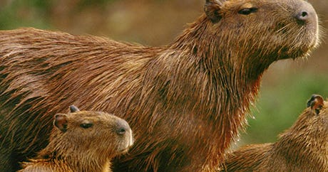 This Is Just A Post About Capybaras