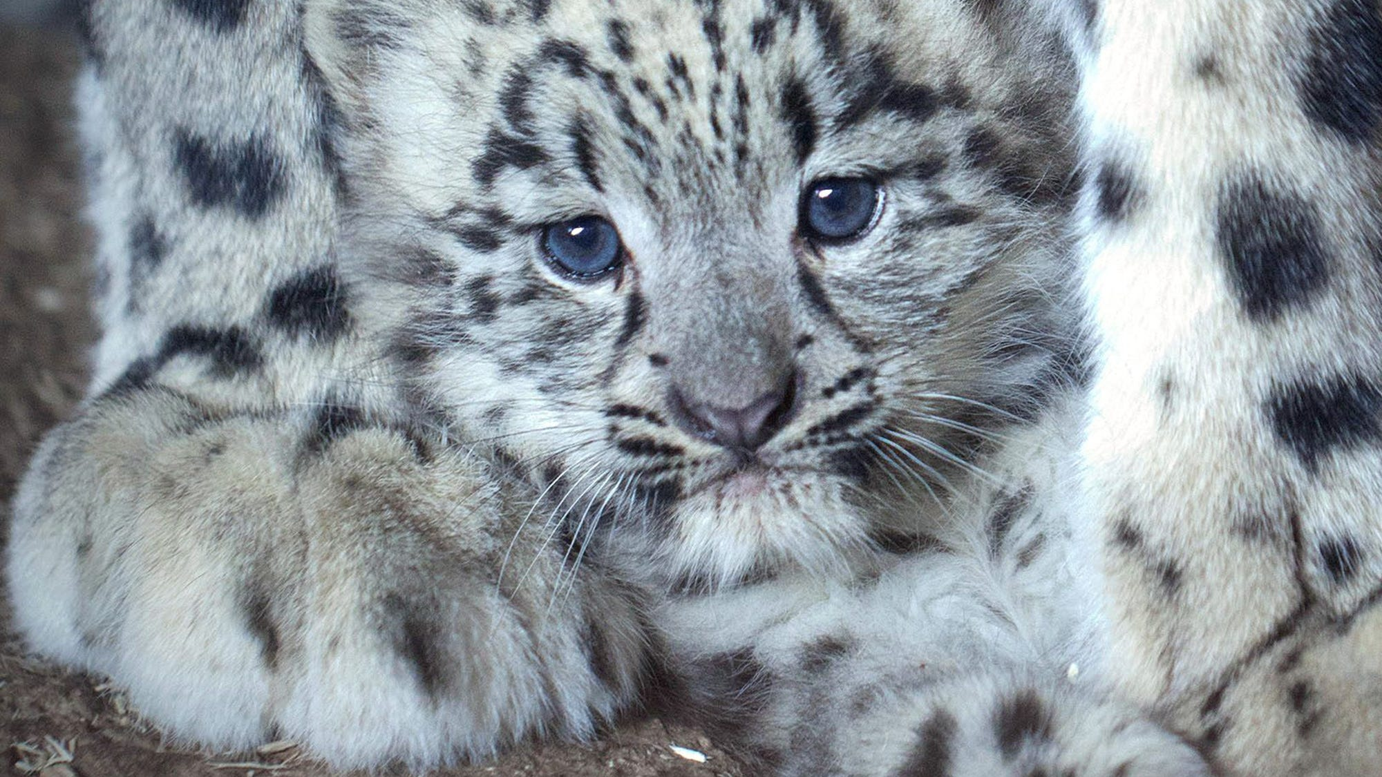 Left In Contrast To Many Of The Other Great Cats Dr Schaller Told New York Times I Don T Know A Single Case Snow Leopard That Would
