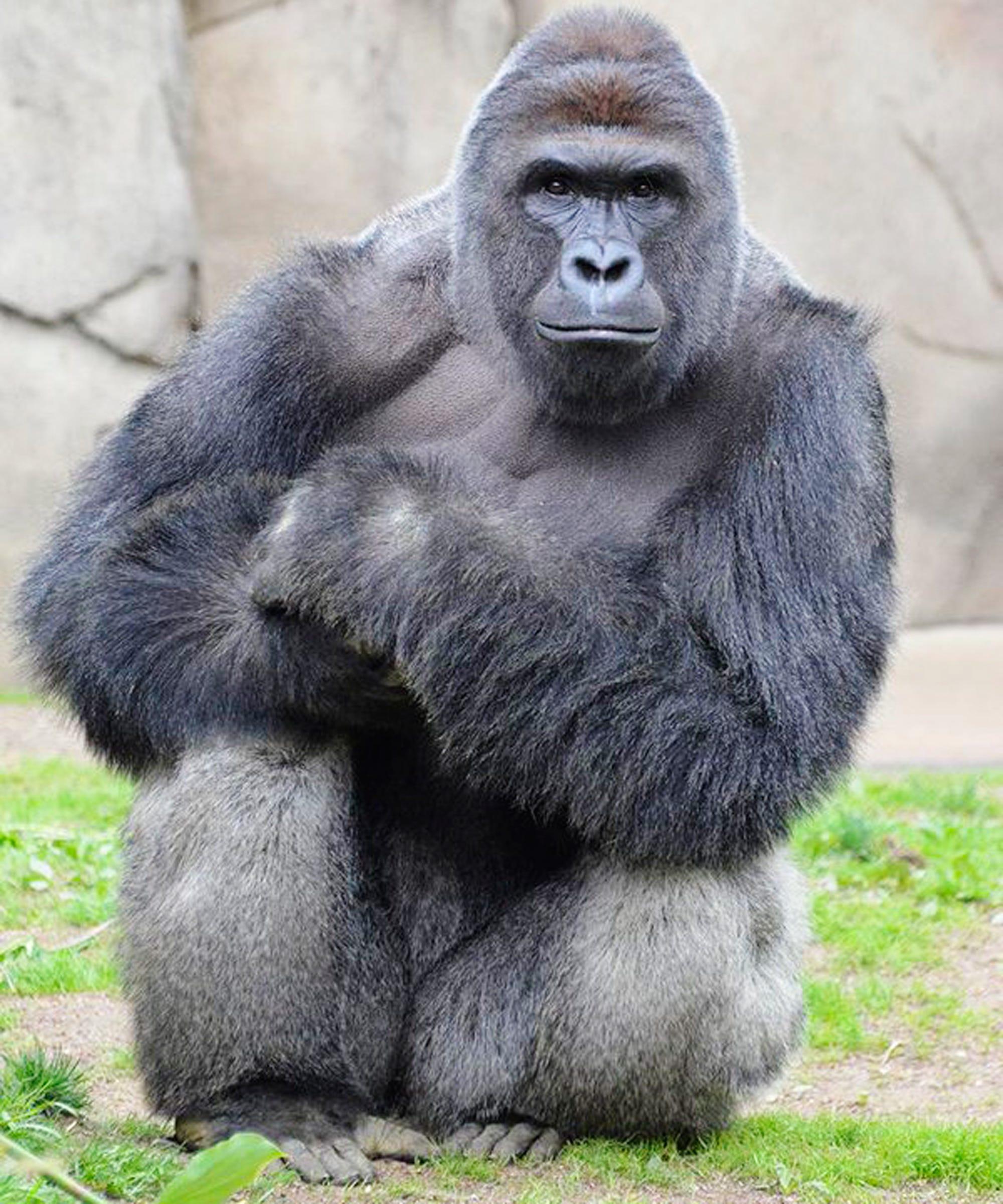 harambe memes petitions cincinnati zoo not amused