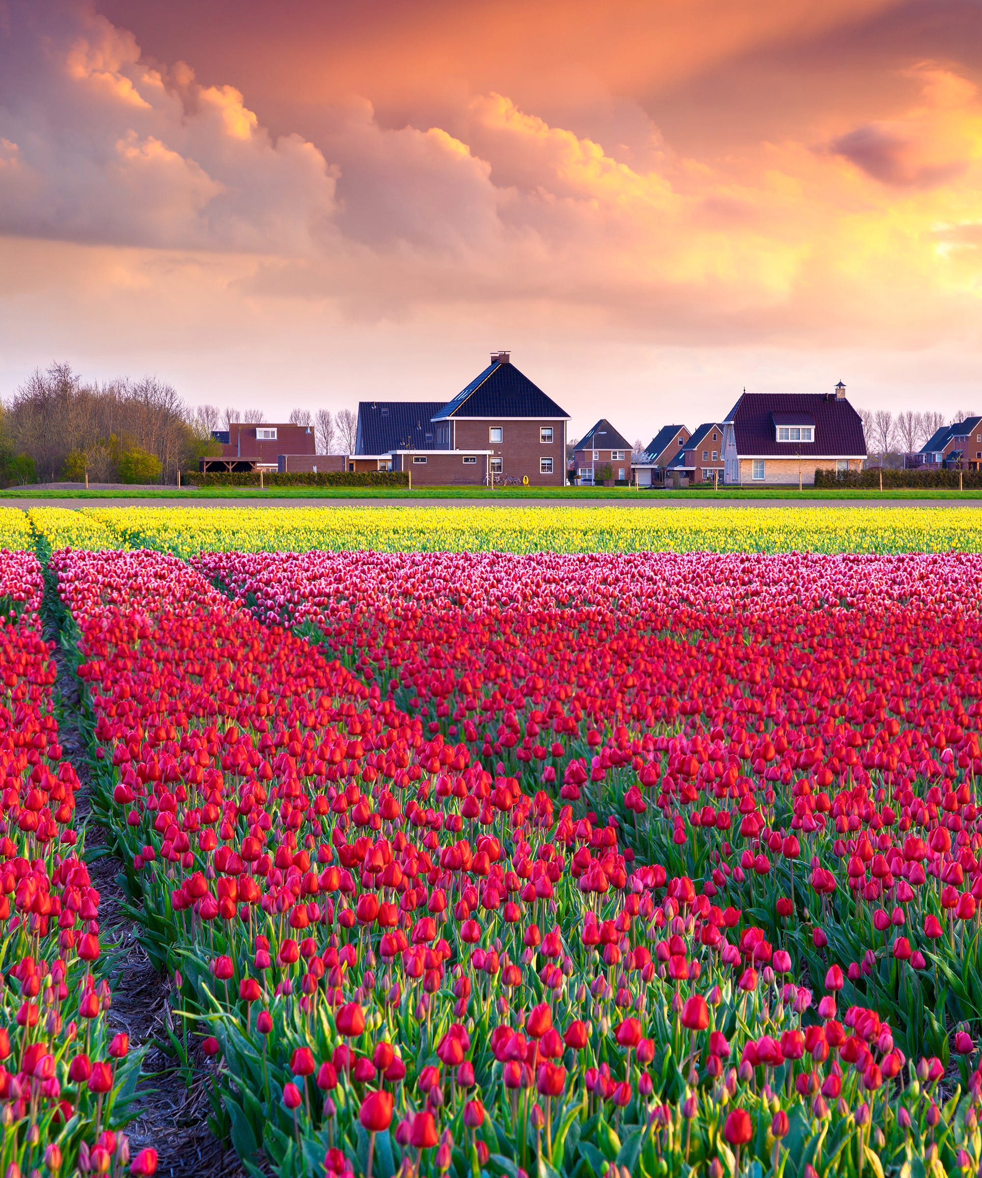 Will Instagramming Tourists Destroy These Dutch Tulip Fields, Too?